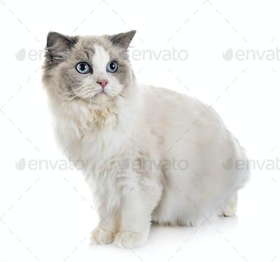 ragdoll cat in studio