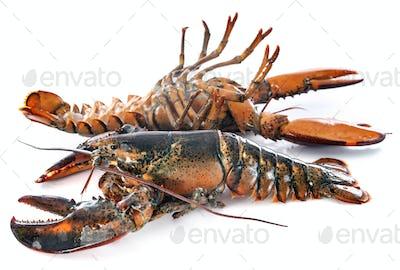 lobsters in studio