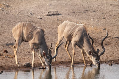 Greater kudu males drinking