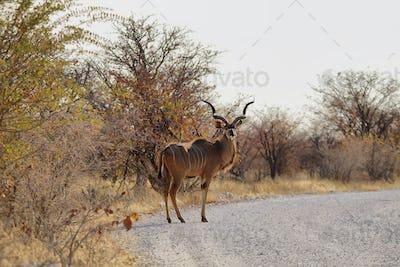 Male Kudu in Etosha