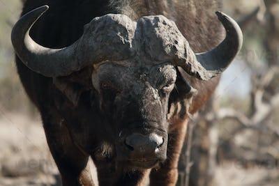 Front buffalo in Chobe riverfront