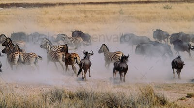 Stampede of wildebeest and zebras in Etosha National Park, Namibia