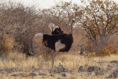 Brown Ostrich walking