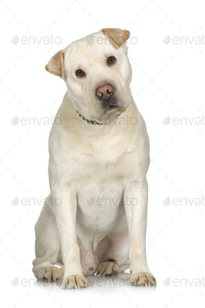 crossbreed between labrador and Sharpei