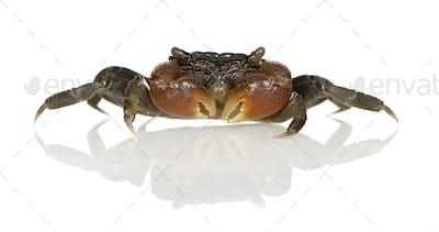 red-clawed crab - Perisesarma bidens