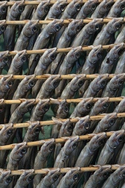 Rows of drying raw horse mackerels