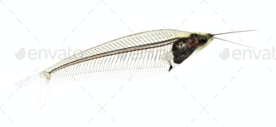 Glass catfish - krypthopterus biccirhis