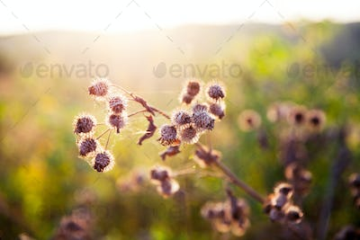 thistle growing wild in a meadow at sunset time
