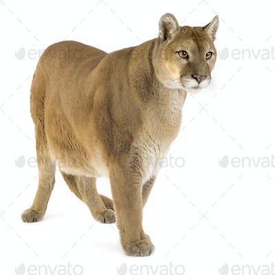 Puma (17 years) - Puma concolor