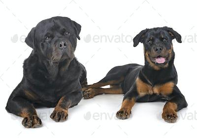 rottweilers in studio