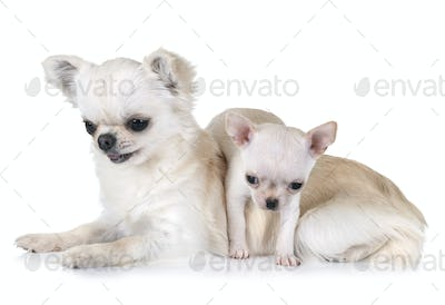 two chihuahuas in studio