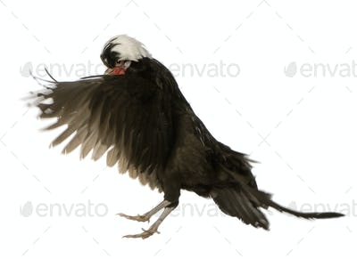 Dutch Rooster