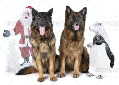 german shepherd and christmas