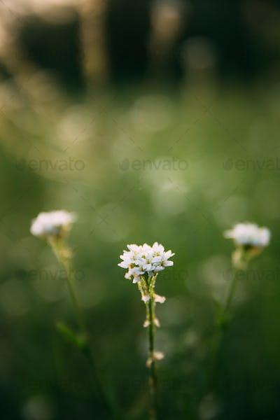 Berteroa Incana In The Mustard Family, Brassicaceae. Native To E