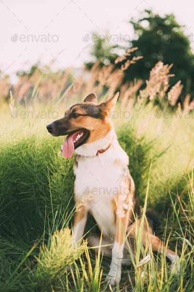 Close Up Portrait Of Funny Mixed Breed Dog Playing In Green Gras