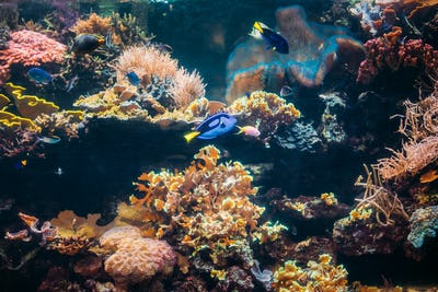 Blue Tang Fish Paracanthurus Hepatus And Chromis Viridis Swimmin