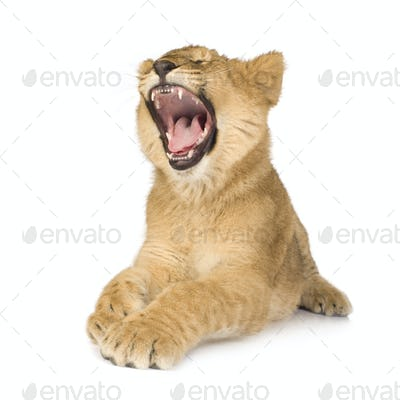 Lion Cub (6 months)