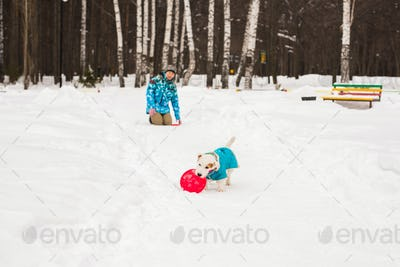Jack Russell Terrier. Dog playing in winter park. Pet concept