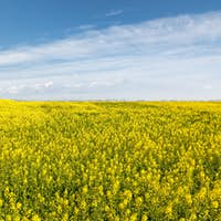 rapeseed flowers field and sunny spring landscape