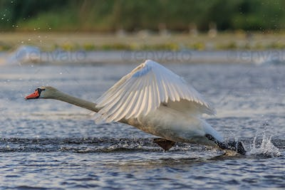 white swan in flight