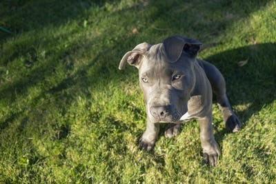 Dramatic Late Afternoon Sunlight Hits One Eye Pit Bull Puppy