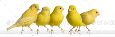 Flock of Yellow canary - Serinus canaria on its perch