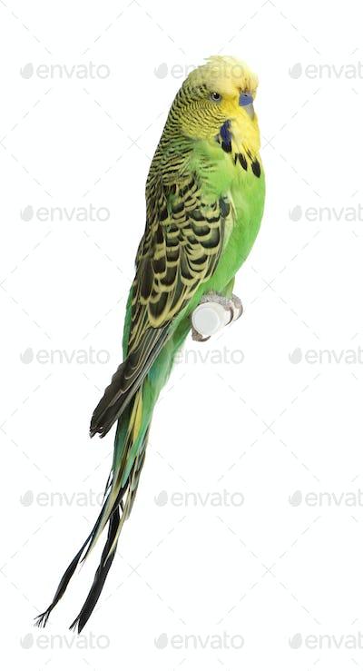 Budgerigar - Melopsittacus undulatus