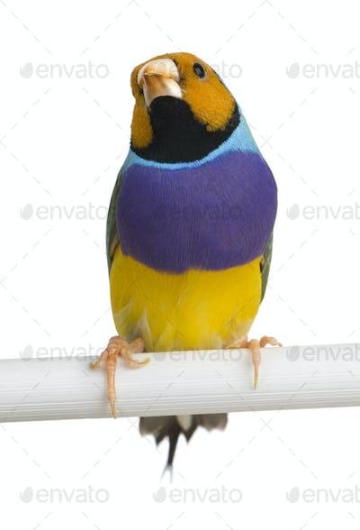 Gouldian Finch - Erythrura gouldiae