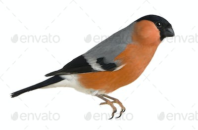 Eurasian Bullfinch, Pyrrhula pyrrhula, in front of white background