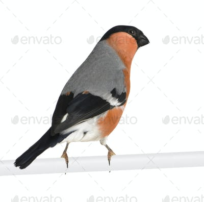 Eurasian Bullfinch - Pyrrhula pyrrhula