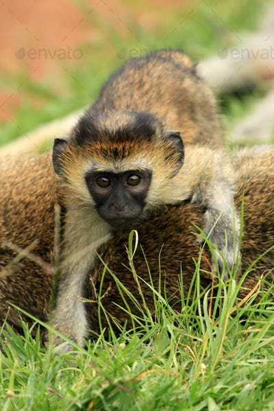 Vervet Monkey - African Wildlife