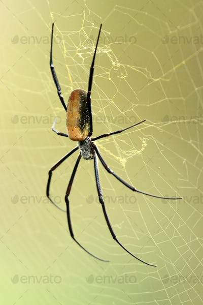 Nephila Spider - African Wildlife
