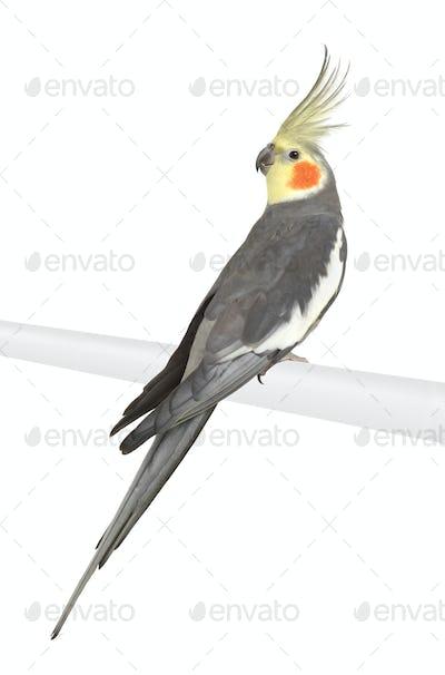 Cockatiel - Nymphicus hollandicus