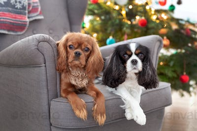 Two cute dogs on the armchair
