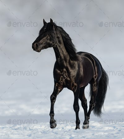 Black Andalusian horse trotting on snow meadow.