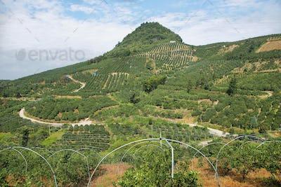 Kumquat trees plantation and valleys near Yangshuo,