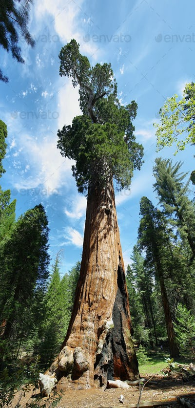 General Sherman tree in Giant Forest of Sequoia National Park