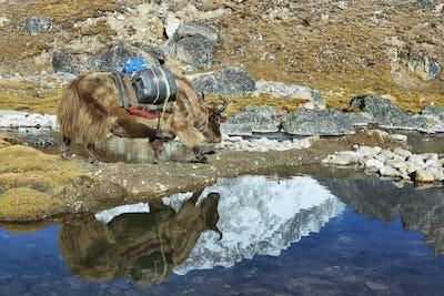 Yak and Lhotse peak reflected in water, Nepal
