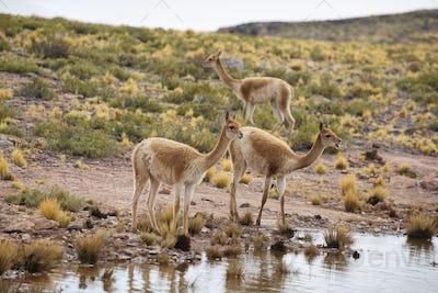 Vicunas in the meadows of Atacama region