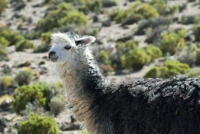 Alpacas grazing in volcano isluga national park
