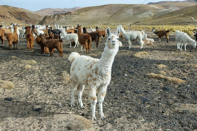 Flock of  Llamas in northern Argentina