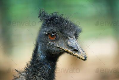 Black ostrich closeup portrait