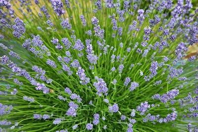 Lavender valley, Oregon