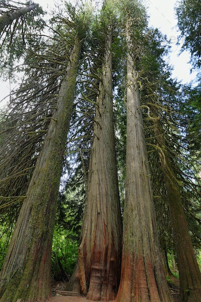 Western Red Cedar in the Grove of the Patriachs