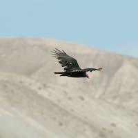 Turkey Vulture in Lluta valley