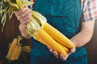 Farmer hold fresh organic corn cobs in his hands. Vegetable harv