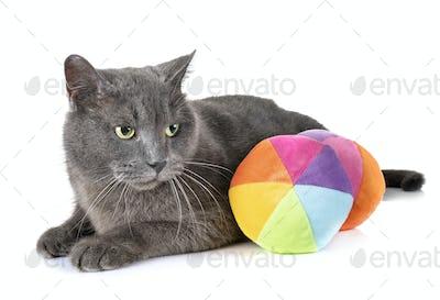 Chartreux cat in studio
