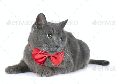 Chartreux cat in studio