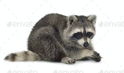 raccoon (9 months) -  Procyon lotor