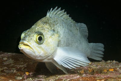 White rockfish in Channel Islands Park